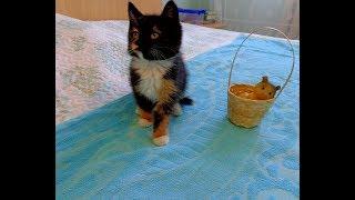 CALICO CAT, КЛУБОК СЧАСТЬЯ (Наши кошки Айза и Марни, приняли трехцветного котенка найденыша)