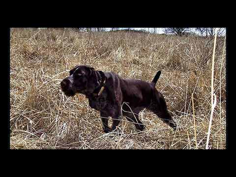 BREED PROFILEGERMAN WIREHAIRED POINTER