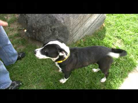 Adopted Betsy Cute Border Collie Pit Bull Terrier Mix For Adoption