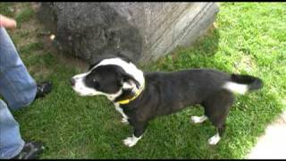 Adopted! Betsy, Cute Border Collie/pit Bull Terrier Mix For Adoption In Indianapolis