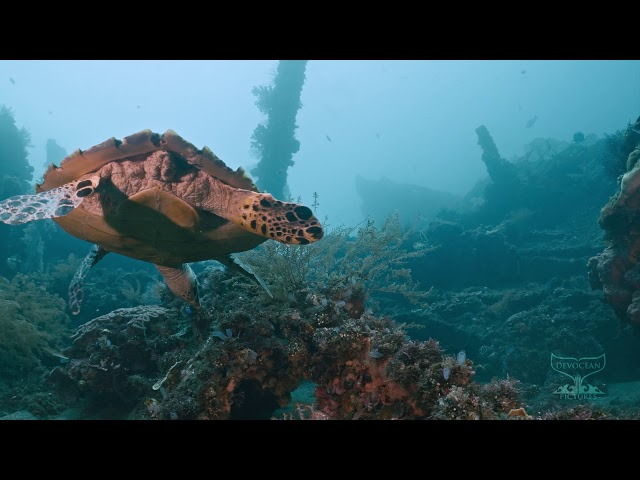 Take a Minute VIII: Hawksbill turtle (Eretmochelys imbricata)