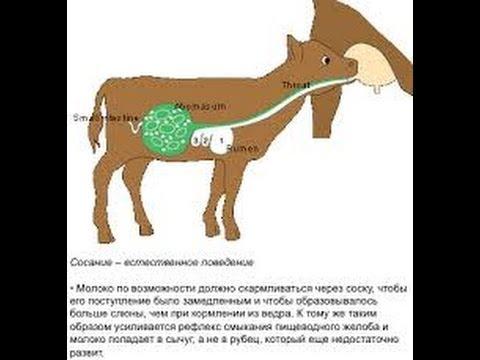 тарифы страховых теленок отстает в развитии что делать год Курортном