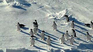 アデリーペンギンのお出迎え