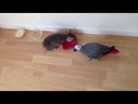 Chat vs Perroquet 2