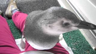Baby penguin crawls over my lap