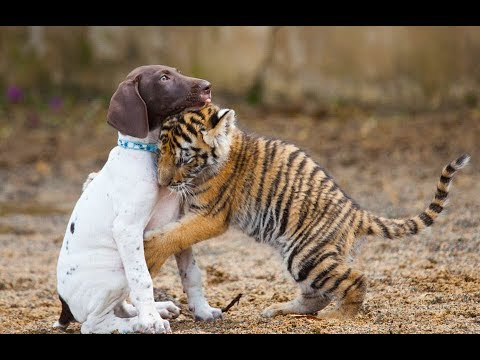 This Puppy Was In For A Surprise When This Tiger Cub Came Up To Him