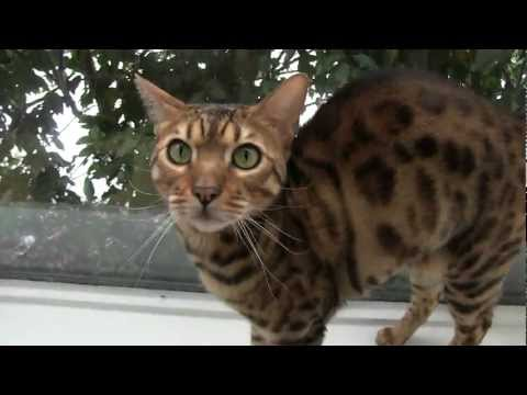 Talkative Bengal Cats Rocket & Rumble Linus Cat Tips