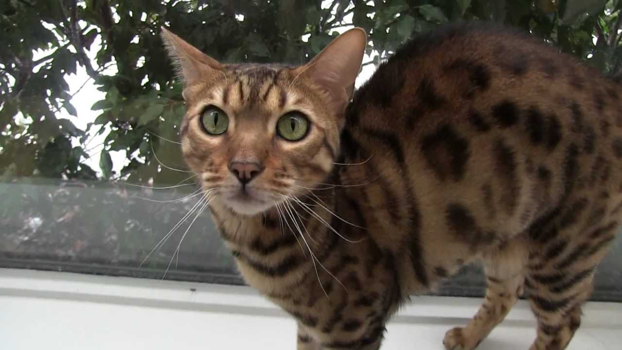 Bengal Cat Characteristics: What to Consider Before Buying ...