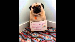 Pug Shaming - Real Funny Pictures
