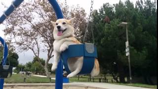Pembroke Welsh Corgi Swinging At The Playground
