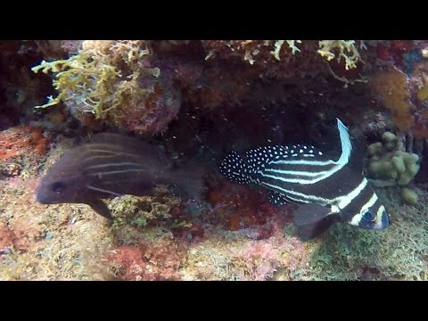 Dive Grenada - Spotted Drum - Romancing The Globe Travel Blog