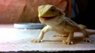 Apetit nejmladších :) Agama vousatá - WWW.AGAMKY.EU /mládě jí cvrčky/eating crickets/ Bearded dragon