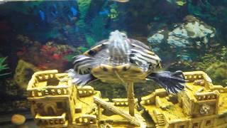 Террариум 600 литров! Красноухая черепаха с рыбками данио..