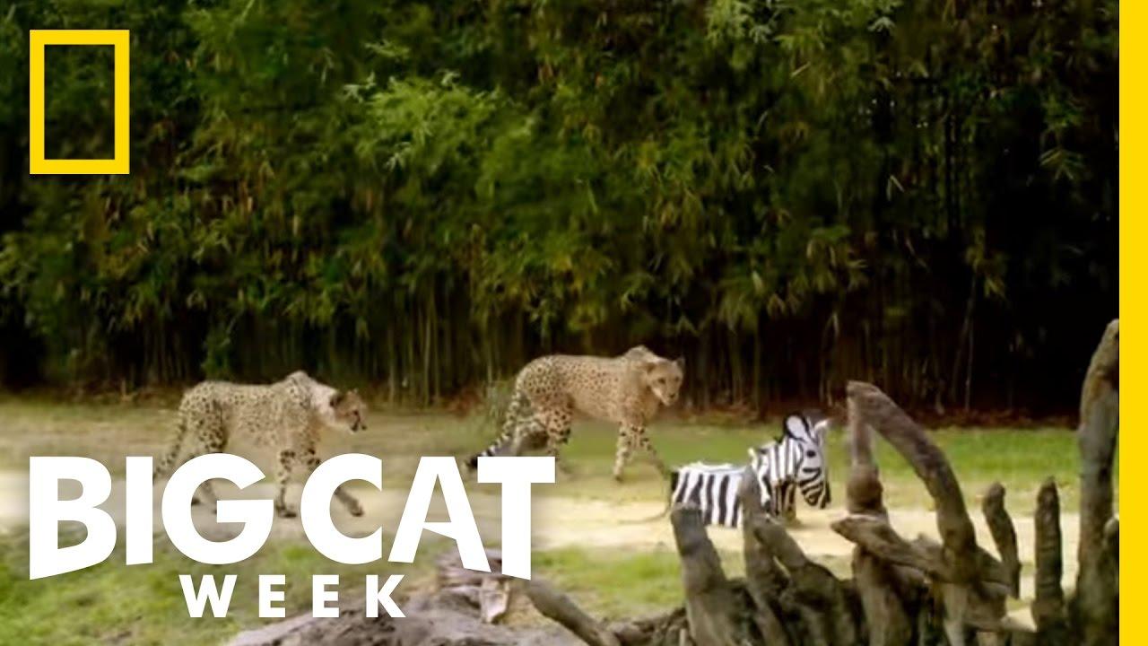 Champion of the Hunt | Big Cat Week