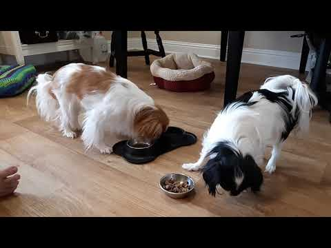 Japanese Chin chicken allergy