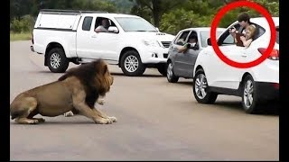 Latest Wildlife Sightings   Lion Shows Tourists Why You Must Stay Inside Your Car
