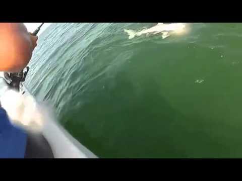 Σφυρίδα «Γολιάθ» έκανε μια μπουκιά... καρχαρία! | Xalara.net