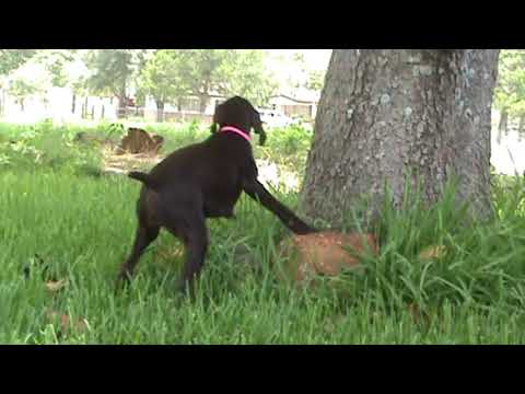 Idawire GWP Pups Pointing Quail