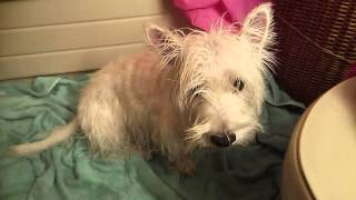 Wet West Highland White Terrier Shakes Off