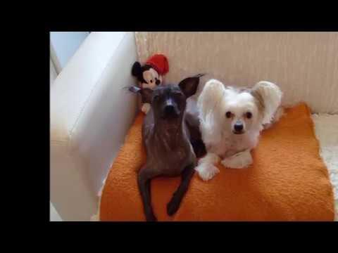 Мои собаки -  мексиканская голая и китайская хохлатая.
