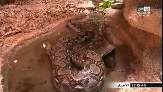 أكادير : عرض أكبر ثعبان بالمغرب بوزن يقارب 100 كيلوغرام و بطول 6 امتار
