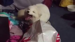 Полярная лисица смеётся