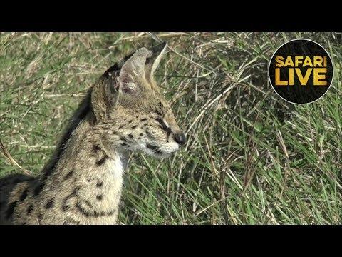 safariLIVE - Sunrise Safari - November 12, 2018