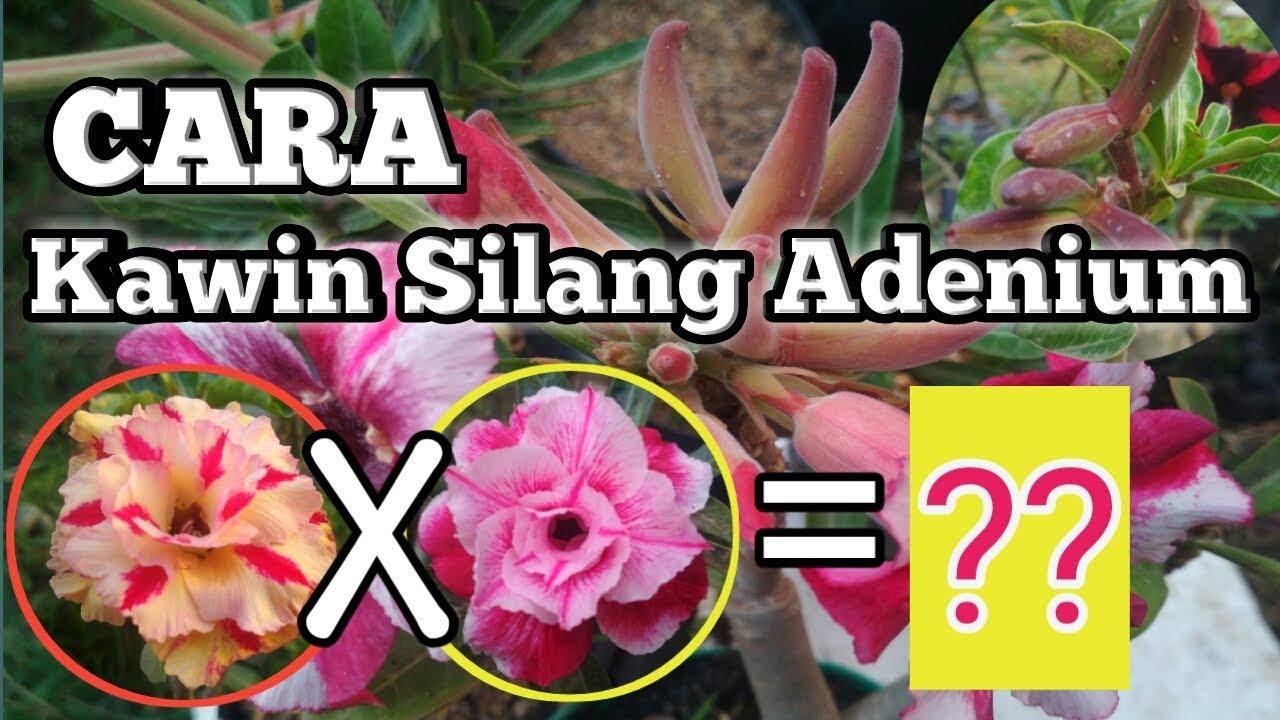 Cara Penyerbukan Bunga Adenium Kawin Silang Bunga Adenium Youtube