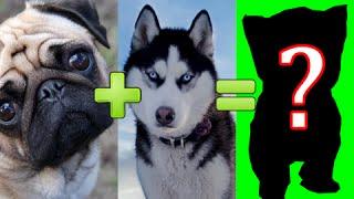 15 ГИБРИДОВ СОБАК РАЗНЫХ ПОРОД #1(Bubble (Автор) - https://goo.gl/O2tH68 Скрещивание собак различных пород. Некоторые собаки вообще друг другу не подходят,..., 2015-10-04T17:00:06.000Z)