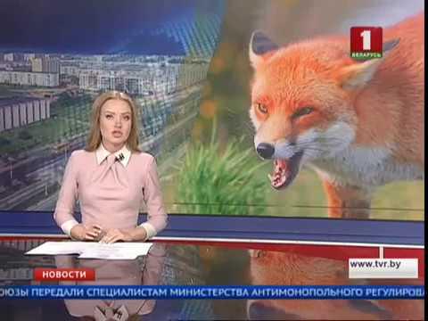 видео: Бешеную лису обнаружили в Витебске