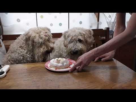 birthday wheaten terrier