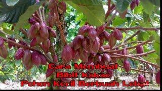 Download Lagu Cara buat bibit kakao/coklat pohon kecil berbuah lebat. mp3