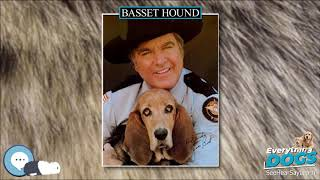 Basset Hound  Everything Dog Breeds