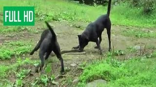 Собаки поймали змею. борьба животных