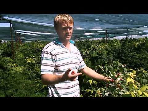 Ремонтантная малина Полька биодинамический метод выращивания
