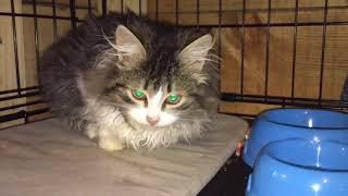 Полудикие котята едят в изоляторах мясо и рычат.