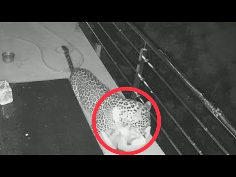Caught On Camera:Leopard Enters Home To Hunt Pet Dog