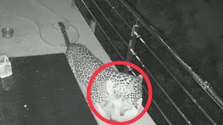 Caught on camera: Leopard enters home to hunt pet dog