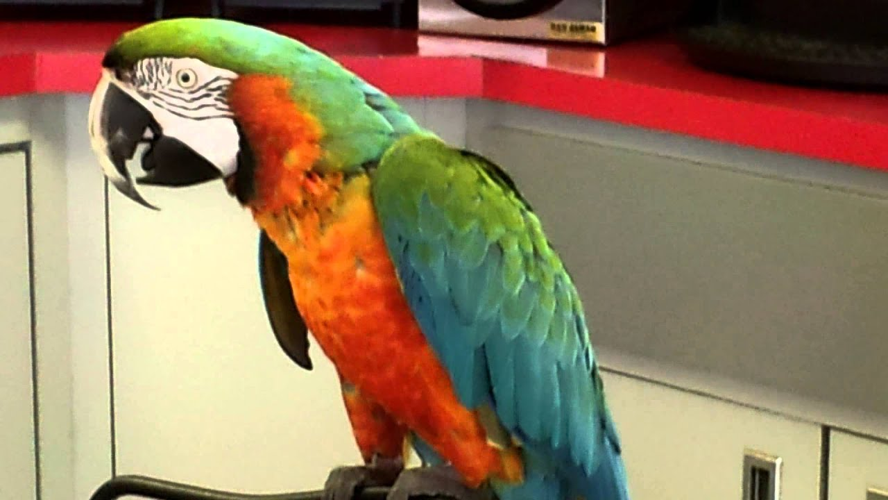 Find Gas Station >> Baby the harlequin macaw - YouTube