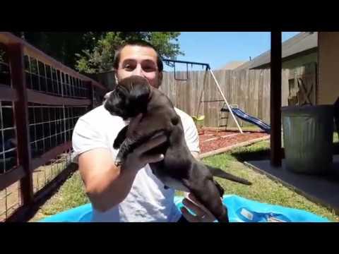 American Pocket Bully Puppies/ 4 Week Old Update