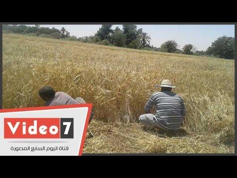 معاناة صغار المزارعين من أعمال الحصاد اليدوى وضعف الامكانيات بالوادى الجديد  - 05:21-2017 / 4 / 21