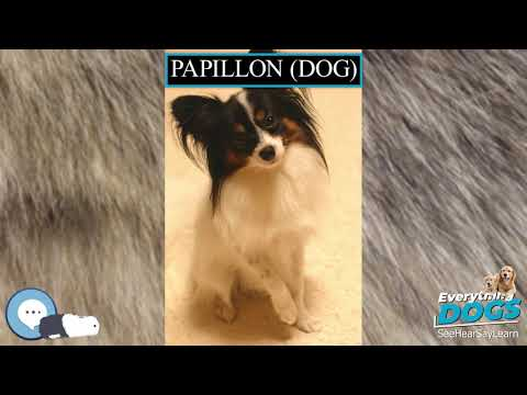 Papillon dog 🐶🐾 Everything Dogs 🐾🐶
