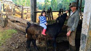 nossos bezerros, búfalo manso, e as mães de leite