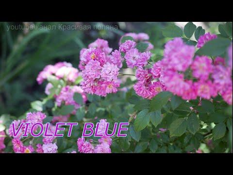 Голубая плетистая многоцветковая роза  VEILCHENBLAU или VIOLET BLUE,  как цветёт? А вот как!