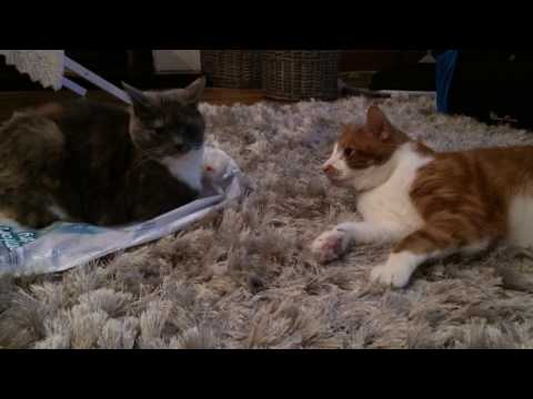 Vicious Cats Fighting - Kimi and Oscar Square Go