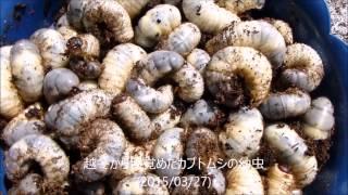 今年もカブトムシの幼虫が無事に越冬しました。暖かくなったので糞掃除...