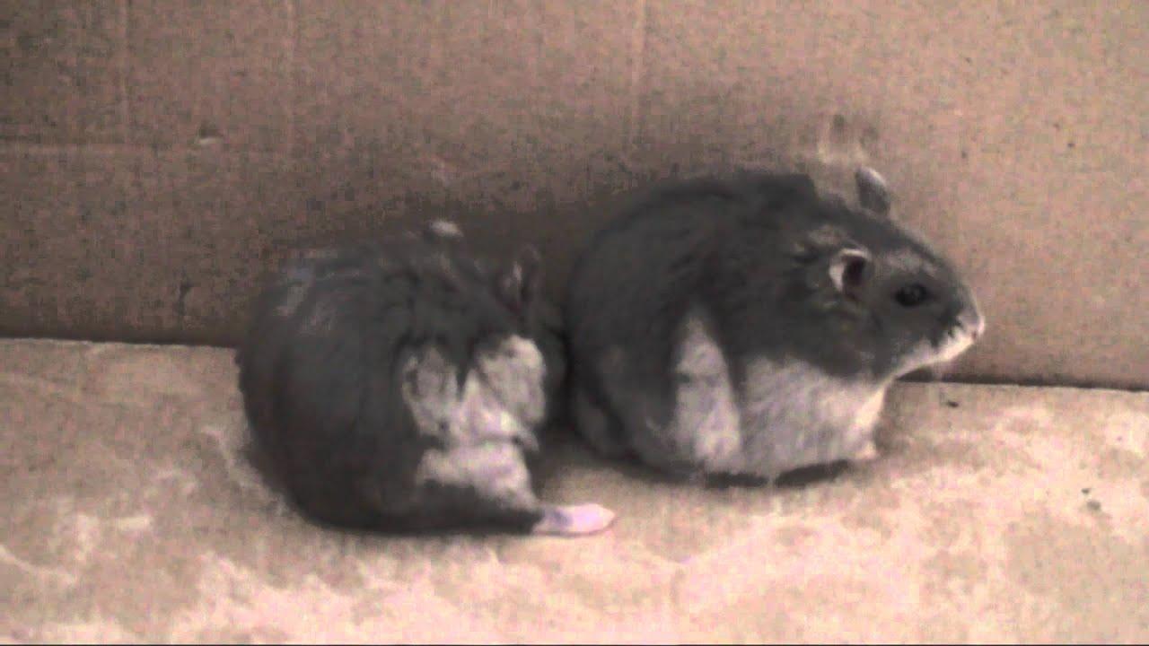 Sex Videos Hamster