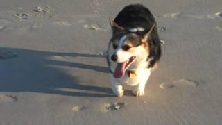 Dylan The Corgi Plays At The Beach