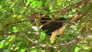 Trumpeter Hornbill; S.Africa. Калао-трубач; ЮАР (polozov2205)