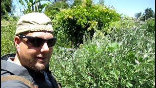 10 Reasons To Grow Mugwort In Your Garden | Artemisia vulgaris